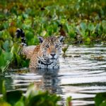 Jaguar in the water
